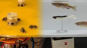 Des robots font dialoguer les poissons avec les abeilles
