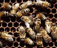Abeilles : des infrarouges contre les effets néfastes des insecticides