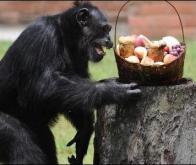 Quand les singes regrettent leur mauvais choix …