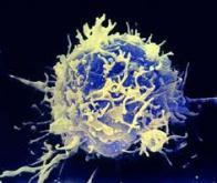 Comment le système immunitaire s'organise-t-il pour combattre le cancer ?