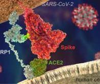 Covid-19 : une nouvelle molécule qui bloque la protéine de pointe