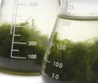 Découverte d'une algue bio-pesticide prometteuse