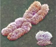 Découverte d'une nouvelle règle d'organisation spatiale des chromosomes qui reflète leur ...