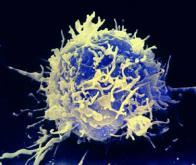 Découverte d'une protéine-clé pour mobiliser le système immunitaire contre le cancer