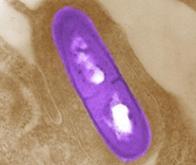 Des bactéries radioactives contre le cancer du pancréas