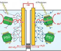 Des cellules solaires utilisant la biomasse !