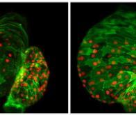 Des scientifiques découvrent une protéine clé dans le développement cardiaque embryonnaire