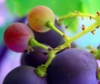 Du raisin pour protéger la peau du cancer