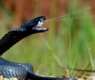 Du venin de cobra pour diagnostiquer les tumeurs cancéreuses avec précision