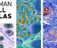 L'Atlas des cellules humaines : une aventure plus vaste que la cartographie du génome