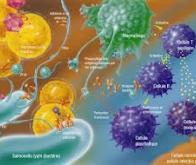 Le système immunitaire révèle de nouvelles et étonnantes ressources…