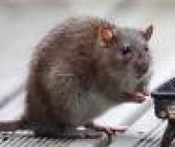 Etats-Unis : Un «interrupteur de mémoire» testé avec succès sur des rats