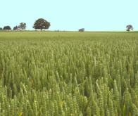 Face au réchauffement climatique, les agronomes conseillent de diversifier les récoltes