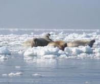 La banquise arctique fond à vitesse grand V