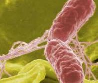 La salmonelle infecte les plantes et les humains par un même mécanisme