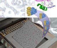 La structure du ribosome révélée au niveau atomique !