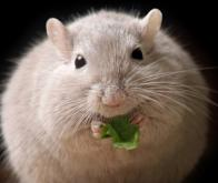 La suppression d'un seul gène prévient l'obésité chez la souris