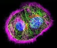 L'activité interne des cellules enfin filmée