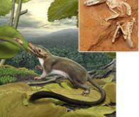 L'ancêtre commun à tous les mammifères est apparu après les dinosaures