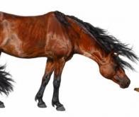 L'ancêtre du cheval rétrécissait avec la chaleur