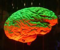 L'asymétrie, présente aussi dans le cerveau des grands singes