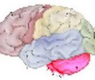 Le cervelet jouerait un rôle majeur dans notre comportement…