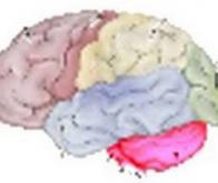 Le cervelet pense aussi !