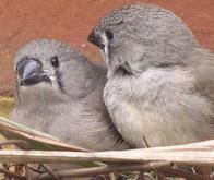 Le comportement des oiseaux serait plus influencé par l'environnement que par la génétique