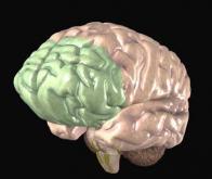 Le cortex joue un rôle-clé dans la concentration cérébrale