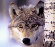 Le déclin des grands prédateurs bouleverse les écosystèmes