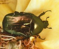 Le déclin des pollinisateurs sauvages menace les rendements agricoles