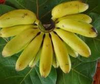 Le génome du bananier séquencé