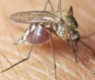 Le mystère du déclin de la population de moustiques du paludisme