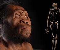Le petit cerveau étonnant d'Homo naledi…