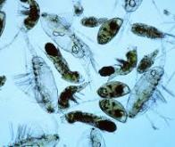 Le phytoplancton a besoin d'alliés