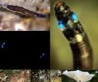 Le premier insecte produisant de la lumière bleue découvert au Brésil