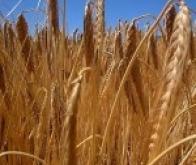Le réchauffement climatique a des effets majeurs sur les rendements agricoles