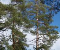 Le réchauffement climatique dépouille les arbres