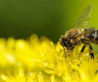 Les abeilles et les guêpes ont un cerveau plus dense que celui des oiseaux !