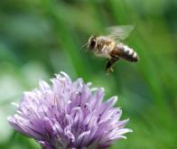 Les abeilles tentent de s'adapter à certains pesticides...