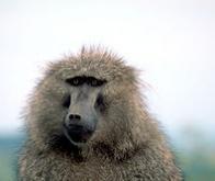 Les babouins peuvent-ils apprendre à lire ?