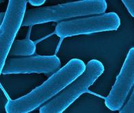 Les bactéries communiquent grâce à des nanotubes