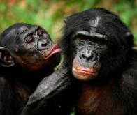 Les bonobos privilégient le partage avec les étrangers...
