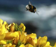 Les bourdons savent détecter les champs électriques émis par les fleurs