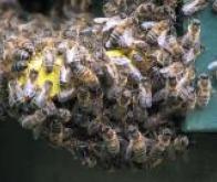 Les cellules immunitaires communiquent entre elles comme les abeilles d'une ruche !