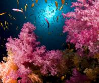 Les coraux disparaîtraient d'ici 40 ans