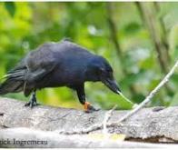Les corbeaux calédoniens capables de fabriquer des objets complexes