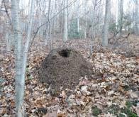 Les fourmis peuvent prévoir les tremblements de terre !
