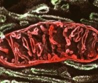 Les mitochondries sont essentielles à la mémoire