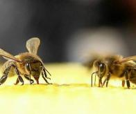 Les pesticides participent au déclin des abeilles